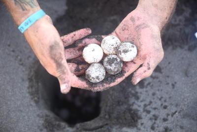 Vor Wilderern gerettete Schildkröteneier im Naturschutz – Projekt in Mexiko