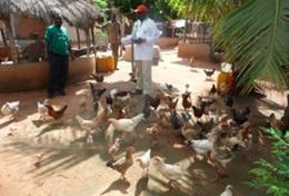 Maisernte auf unserer Partnerfarm in Togo: hier kannst du als Freiwillige helfen und viel über tropische Landwirtschaft lernen.