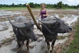 Eine Freiwillige pflügt ein Reisfeld mit einem traditionellen Wasserbüffelgespann in einem Workshop über landwirtschaftliche Anbaumethoden in unserem Khmer - Projekt in Kambodscha.