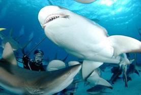 Auf deinen Tauchgängen im Meeresbiologie - Projekt auf den Fidschi-Inseln wirst du auf Haie und andere Meeresbewohner stoßen.