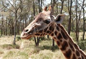 Die Rothschild-Giraffen zählen zu den vom aussterben bedrohten Tierarten, die du mit deiner Freiwilligenarbeit in Naturschutz - Projekt in Kenia aktiv schützen kannst.