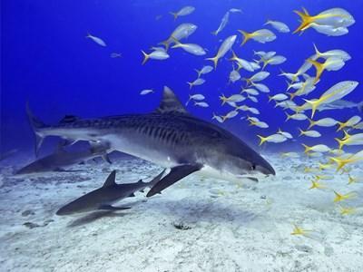 Meeresbiologie Projekt auf Fidschi mit Haien