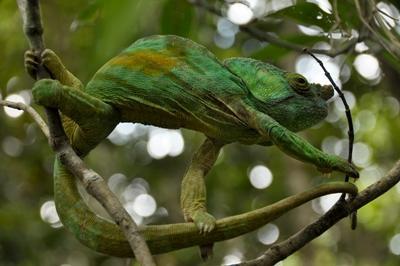 Chamäleon im Projects Abroad Naturschutz - Projekt in Madagaskar