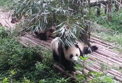 Panda-Projekt in China