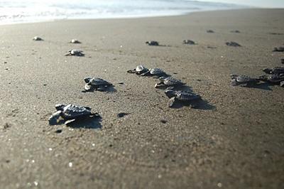 Schildkröten-Projekt in Mexiko