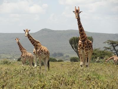 Die vom Aussterben bedrohten Rothschild – Giraffen im Reservat Soysambu Conservancy im Naturschutz – Projekt in Kenia
