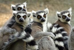 Madagaskars Artenvielfalt ist einzigartig auf der Erde - hier ist unter anderem die inseleigene Affenart der Lemuren zu Hause, deren typischen Rufen du während deiner Freiwilligenarbeit im Schulferien - Special lauschen kannst.