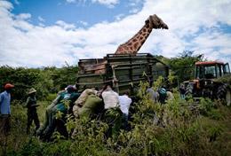 Im Naturschutz - Projekt in Kenia kannst du als Freiwillige/r live dabei sein, wenn Wildtiere in das Schutzreservat umgesiedelt werden, um vor Wilderern geschützt zu sein.