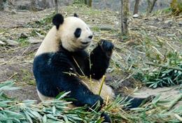 Reise in deinen Ferien nach China und setze dich mit deiner Freiwilligenarbeit für die Pflege und den Schutz von Riesenpandas ein.
