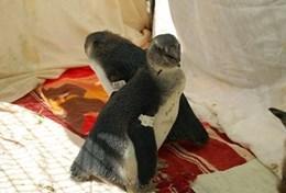 Im Vogelzentrum SANCCOB kümmert sich eine Freiwillige um die Tierpflege von Brillenpinguinen, die an der Küste Kapstadts heimisch sind.