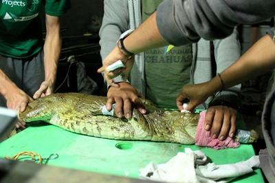 Ein Tierarzt in Peru behandelt mit Hilfe von Freiwilligen ein Krokodil in Peru